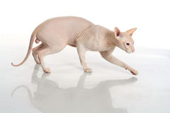 Peterbald hairless cat isolated Stock Photography
