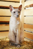 Peterbald on Hayloft Royalty Free Stock Photography