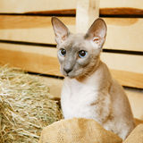 Peterbald on Hayloft Stock Images