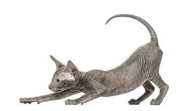 Peterbald kitten stretching in a funny position, yoga cat, 3 mou Royalty Free Stock Photos