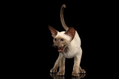 Peterbald kitty on  black background Royalty Free Stock Photography