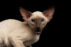 Peterbald kitty on isolated black background Stock Image