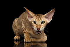Peterbald kitty on isolated black background Royalty Free Stock Photography