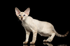 Peterbald kitty on isolated black background Royalty Free Stock Images
