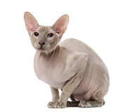 Peterbald (15 months old) Royalty Free Stock Image