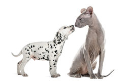 Peterbald  and puppy dalmatian sniffing and looking at each othe Stock Image