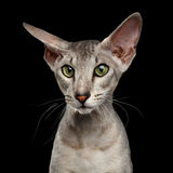 Peterbald Sphynx Cat on Black background Stock Photos