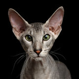 Peterbald Sphynx Cat on Black background Stock Photo
