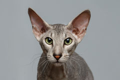 Peterbald Sphynx Cat on Black background Royalty Free Stock Photography
