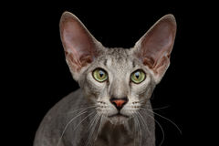Peterbald Sphynx Cat on Black background Royalty Free Stock Image
