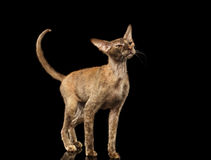 Peterbald Sphynx Cat Curiosity Looking para arriba en negro Imagen de archivo