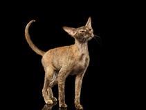 Peterbald Sphynx Cat Curiosity Looking up on Black Stock Image