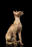 Peterbald Sphynx Cat Curiosity Looking up on Black Royalty Free Stock Images