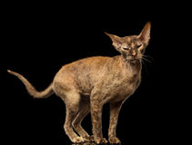 Peterbald Sphynx Cat Funny Posing on Black Mirror Royalty Free Stock Photography