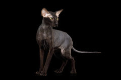 Peterbald Sphynx Cat on Isolated Black background Stock Images