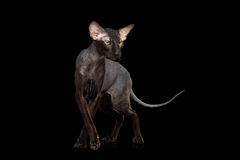 Peterbald Sphynx Cat on Isolated Black background Royalty Free Stock Image