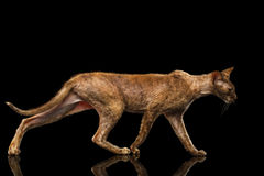Peterbald Sphynx Cat Walking on Black Mirror Royalty Free Stock Images