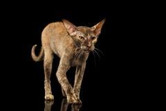 Peterbald Sphynx Cat Walking on Black Mirror Stock Photography