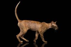 Peterbald Sphynx Cat Walking en el espejo negro imagen de archivo