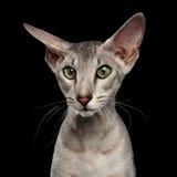 Peterbald Sphynx kot na Czarnym tle zdjęcia stock