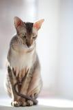 Peterbold cat Royalty Free Stock Image