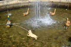 PETERHOF, RUSSIA. The Favourite fountain in Nizhny park. PETERHOF, RUSSIA - JULY 24, 2015: The Favourite fountain in Nizhny park Stock Image