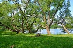 Peterhof, Russland Alte ausbreitende Weiden wachsen auf der Bank von Holguin von einem Teich Stockbilder