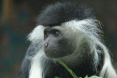 Peters's Angola colobus Royalty Free Stock Photos