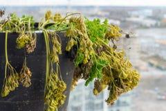 Peterseliekruid die uitdrogen, in de winter, het sterven peterselie, met gele en bruine bladeren stock foto