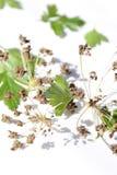 Peterseliezaden en bladeren op witte achtergrond stock fotografie