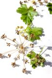 Peterseliezaden en bladeren op witte achtergrond royalty-vrije stock afbeeldingen