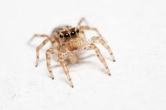 Petersi fêmea de salto de Plexippus da aranha no assoalho branco Imagem de Stock