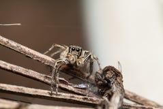 Petersi masculino de salto de Plexippus da aranha Imagem de Stock