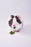 Petersilie, die Meerschweinchen isst Lizenzfreies Stockfoto