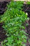 Petersilie gepflanzt, in den Reihen und draußen in wachsen stockbilder