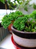 Petersilie im Blumentopf Lizenzfreies Stockfoto