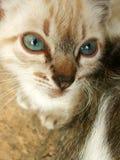 Petición del gatito siamés Foto de archivo