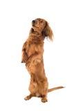 Petición del perro de Daschund imagen de archivo libre de regalías