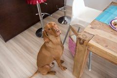 Petición del perro en cocina fotos de archivo