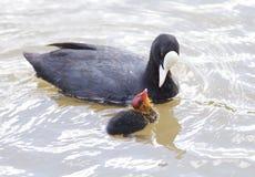 Petición eurasiático del polluelo de la focha Imagen de archivo