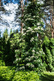 Petiolaris anomala Hydrangea subst Στοκ Φωτογραφία