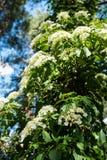 Petiolaris anomala Hydrangea subst Στοκ φωτογραφία με δικαίωμα ελεύθερης χρήσης