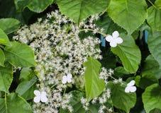 Petiolaris d'hortensia, un hortensia de s'élever images libres de droits