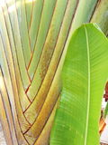 Petiole pattern  of Traveller`s Palm. Petiole pattern and leaf of Traveller`s Palm Royalty Free Stock Photo