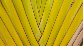 Petiole pattern of Traveller`s Palm Leaves Royalty Free Stock Photo