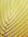 Petiole pattern of Traveller's Palm Royalty Free Stock Photography