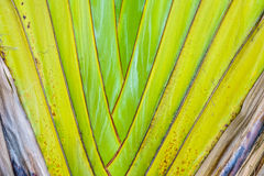 The petioles of Ravenala madagascariensis tree Stock Images