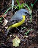 Petirrojo amarillo del este, vertical Fotografía de archivo