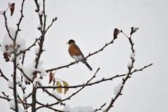 Petirrojo americano en invierno Foto de archivo libre de regalías