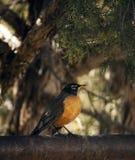 Petirrojo americano encaramado en la cerca entre árboles Imagen de archivo